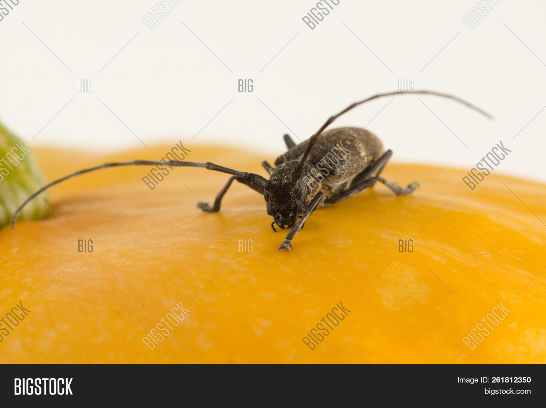 Large Black Beetle Image & Photo (Free Trial) | Bigstock