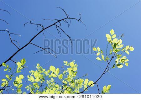 Live And Dry Branches Against The Sky. A Dried Branch Next To A Live Branch. New Green Leaves In Spr