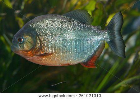 The Red Piranha (pygocentrus Nattereri), A Predatory Fish From South America