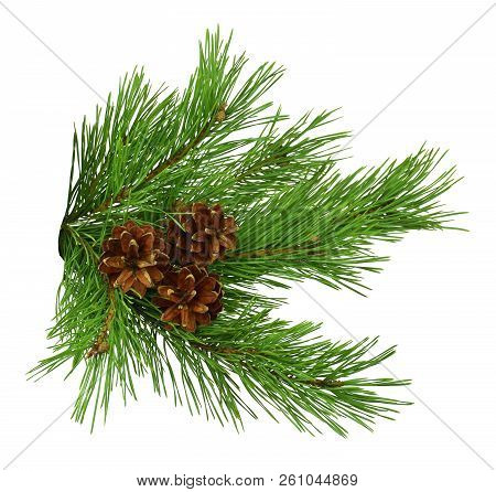 Green Pine Christmas Tree Green Branch And Cones Isolated On White Background .green Branches Of Pin