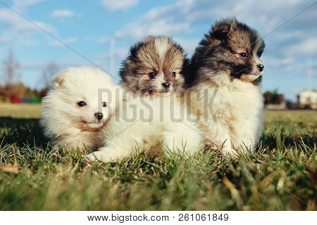 Little Puppies. Pomeranian Puppies Playing Outdoor Pomeranian Spitz-dog