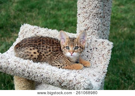 Savannah Cat. Beautiful Spotted And Striped Gold Colored Serval Savannah Kitten With Yellow Eyes On