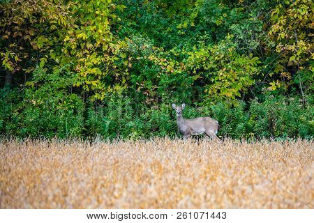 Fawn White-tail deer (odocoileus virginianus) in September poster