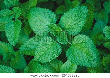 Fresh Balm Plant  - Lemon Balm Herb Garden -