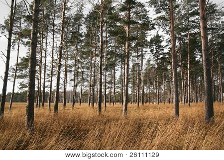 Torr savann