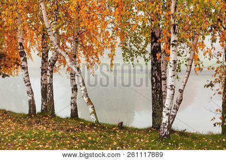 Horizontal Fall Background With Birches Trees With Branches Of Orange And Green Leaves And White Tru