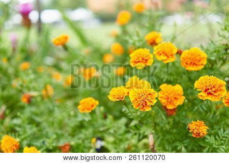 Tagetes Erecta Or Marigold Have Yellow And Orange Flower