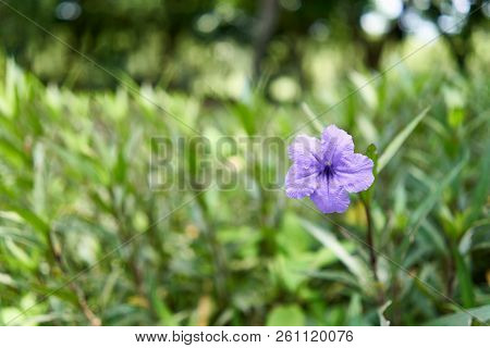 Ruellia Tuberosa Or Toi Ting Flower Have Violet Color