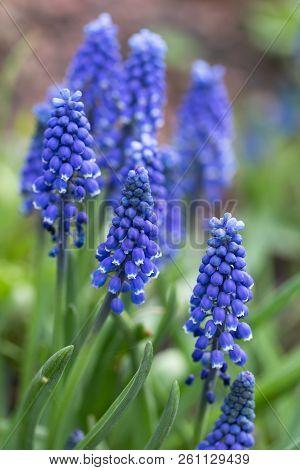 Muscari. Blue Spring Flowers