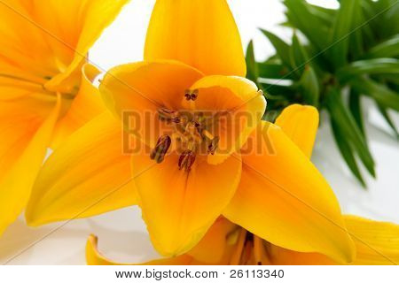 yellow lilly flower on white background