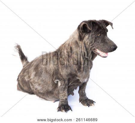 Dog Sick Leprosy Skin Problem With Pregnant On White Background