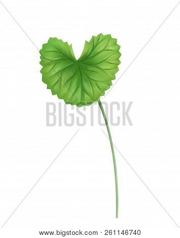 Digital painting leaf of Gotu kola, Asiatic pennywort, Indian pennywort on white background, herb and medical concept poster