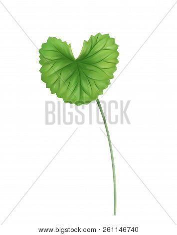 Digital Painting Leaf Of Gotu Kola, Asiatic Pennywort, Indian Pennywort On White Background, Herb An