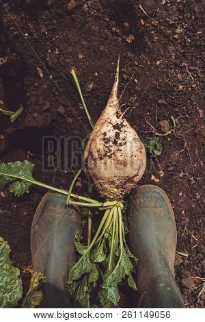 Farmer Standing Directly Above Extracted Organically Grown Sugar Beet Root Crop On The Ground