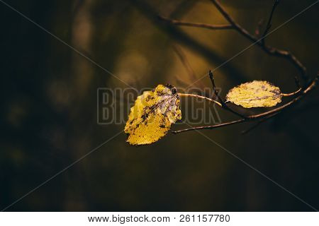 Photo Of Aspen Leaves On A Tree. Stylized As Analog Gained Photo. Golden Autumn. Warm Brown And Dark