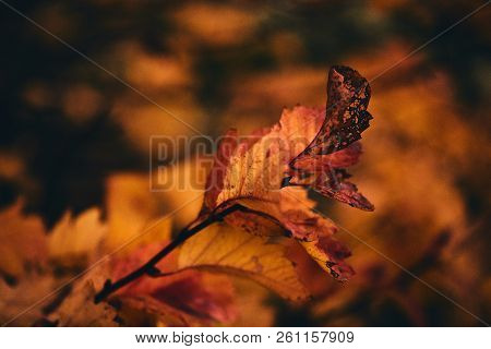 Photo Of Autumn Leaves On A Tree. Stylized As Analog Gained Photo. Golden Autumn. Bright Red, Yellow