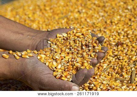 Farmer's Hands Holding Harvested Grain Corn