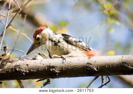 Woodpecker, The Wood Visitor