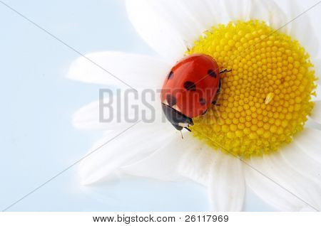 camomile flower with ladybug on blue background