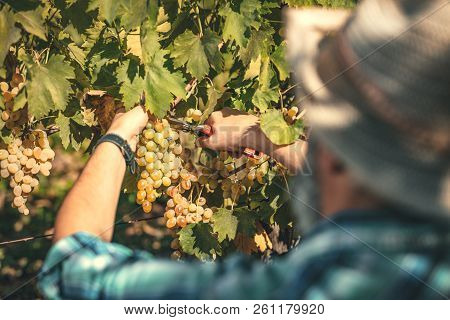 Rear View Of A Handsome Winemaker Is Cutting Grapes At A Vineyard. Selective Focus