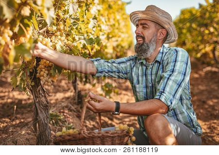 Handsome Smiling Winemaker With Straw Hat Cutting Grapes At A Vineyard.