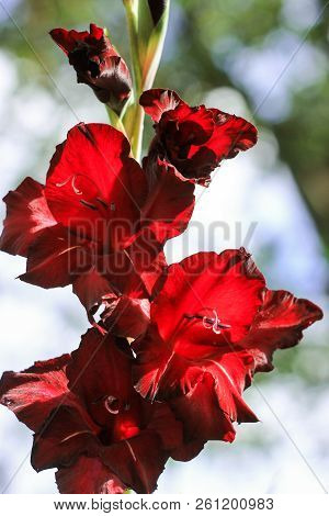 Red Gladiolus Grows In The Spring Under The Open Sky On A Green Background, Emerald Red Gladiolus, M