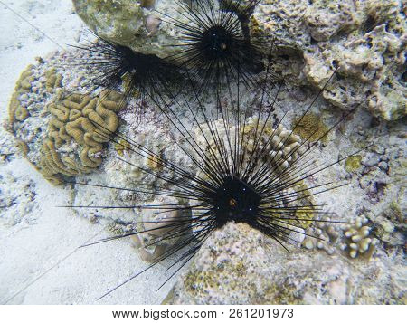 Black Urchins With Long Needles. Sea Threat. Coral Reef Underwater Photo. Tropical Sea Shore Snorkel