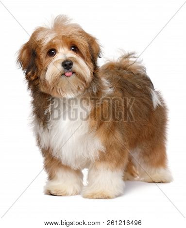 Cute Happy Red Parti Colored Havanese Puppy Dog Is Standing, Isolated On White Background