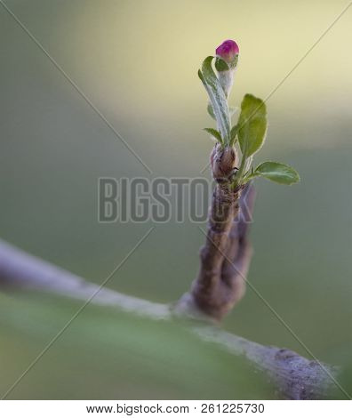 Pink Apple Tree Bud On A Branch Closeup