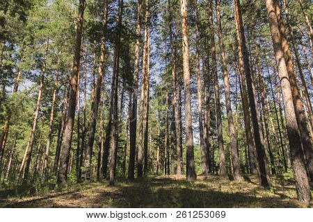 A Sunny Summer Day In The Pinewood Looking Uphill With Lots Of Vertical Tree Trunks