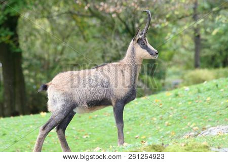 The Chamois (rupicapra Rupicapra) A Living In The Mountains Wildlife