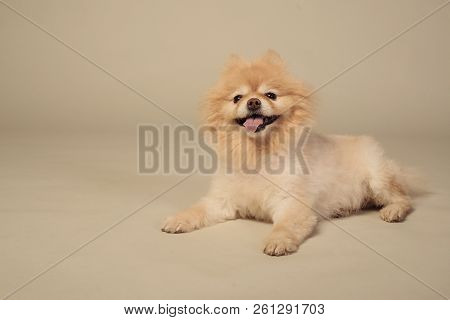 Sheared Spitz Puppy Lying In Front View. Isolated On Grey Background