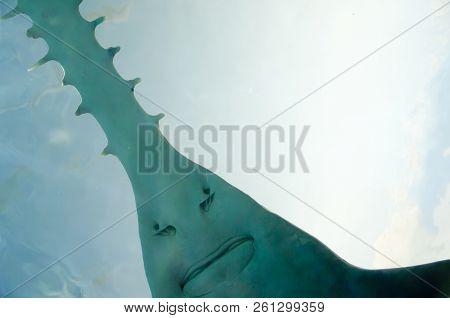 Saw Of Sawfish In Aquarium - Canada