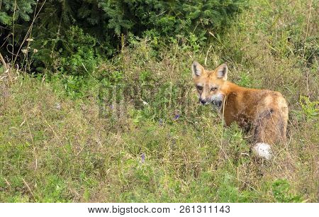 Red Fox Hunting In A Wooded Area