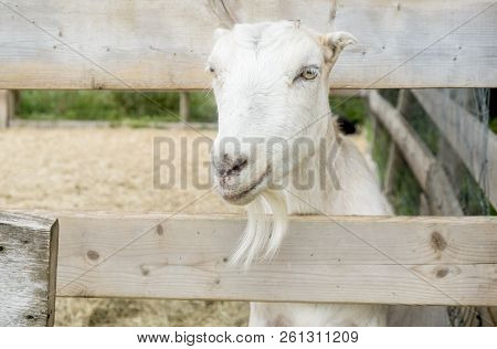 Friendly White Goat Behind A Fenced On A Farm In Prince Edward Island Canada