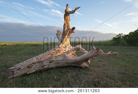 Big Piece Of Driftwood In A Grassy Area All Lit Up By Sunset