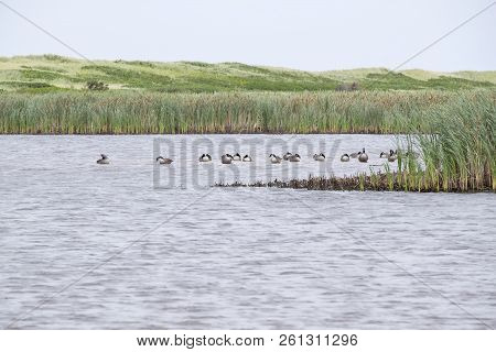 Flock Of Canada Geese Resting In The Calm Marsh Of Greenwich Prince Edward Island