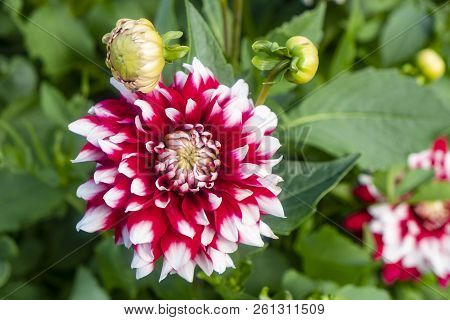 Close Up Of Blooming Dahlia Flowers In A Garden