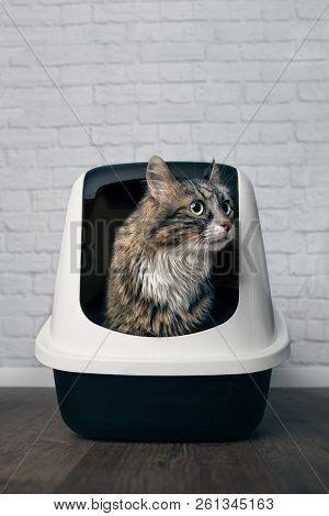 Maine Coon Cat Sitting In A Litter Box And Looking Disinterested Sideways . Vertical Image With Copy