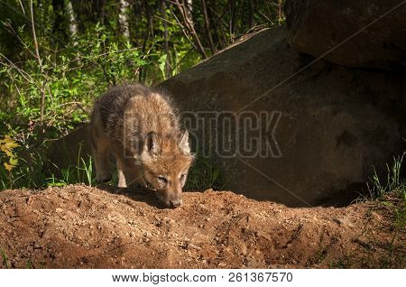 Grey Wolf (Canis lupus) Pup Sniff in Front of Den - captive animal poster