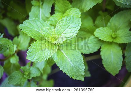 Mint Leaves, Peppermint Leaves Of Mint On Green Background, Closeup Of Fresh Mints Leaves Texture Or