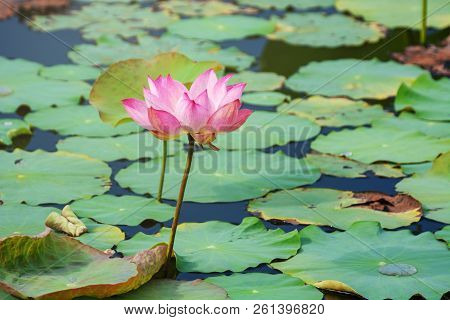 Pink Lotus Flower Blooming Among Lush Leaves In Pond Under Bright Summer Sunshine, It Is A Tree Spec