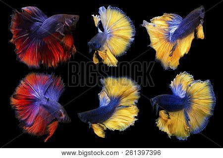 Collection Of Reaction Form Betta Fish Isolated On Black Background, Action Moving Moment Of Half Mo