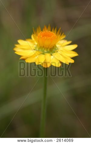 Yellow Flower Reaching For The Sun