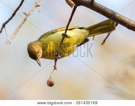 Yellow Bellied Greenbul
