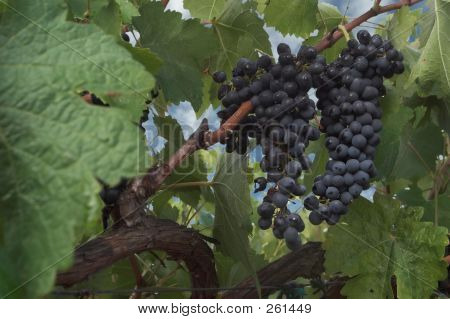 The Vineyard's Bounty