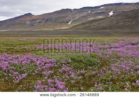 Wild flowers blooming in the Icelandic tundra in a dry river bedding