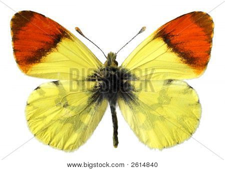 Isolated Morocco Orange Butterfly
