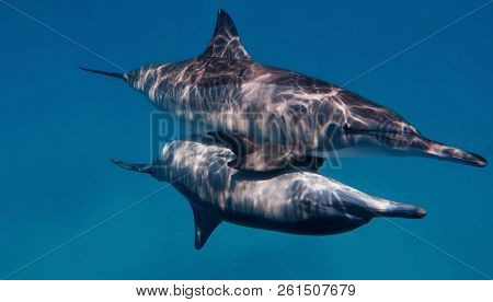 Couple Of The Wild Bootlenose Dolphins Copulating