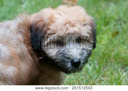 A Pure Bred Wheaton Terrier Puppy Dog With Wet Face.